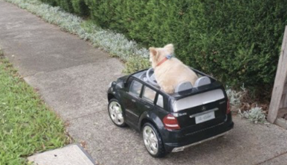 """Dog Out for a Cruise Gets """"Pulled Over"""" for the Most Adorable Reason"""