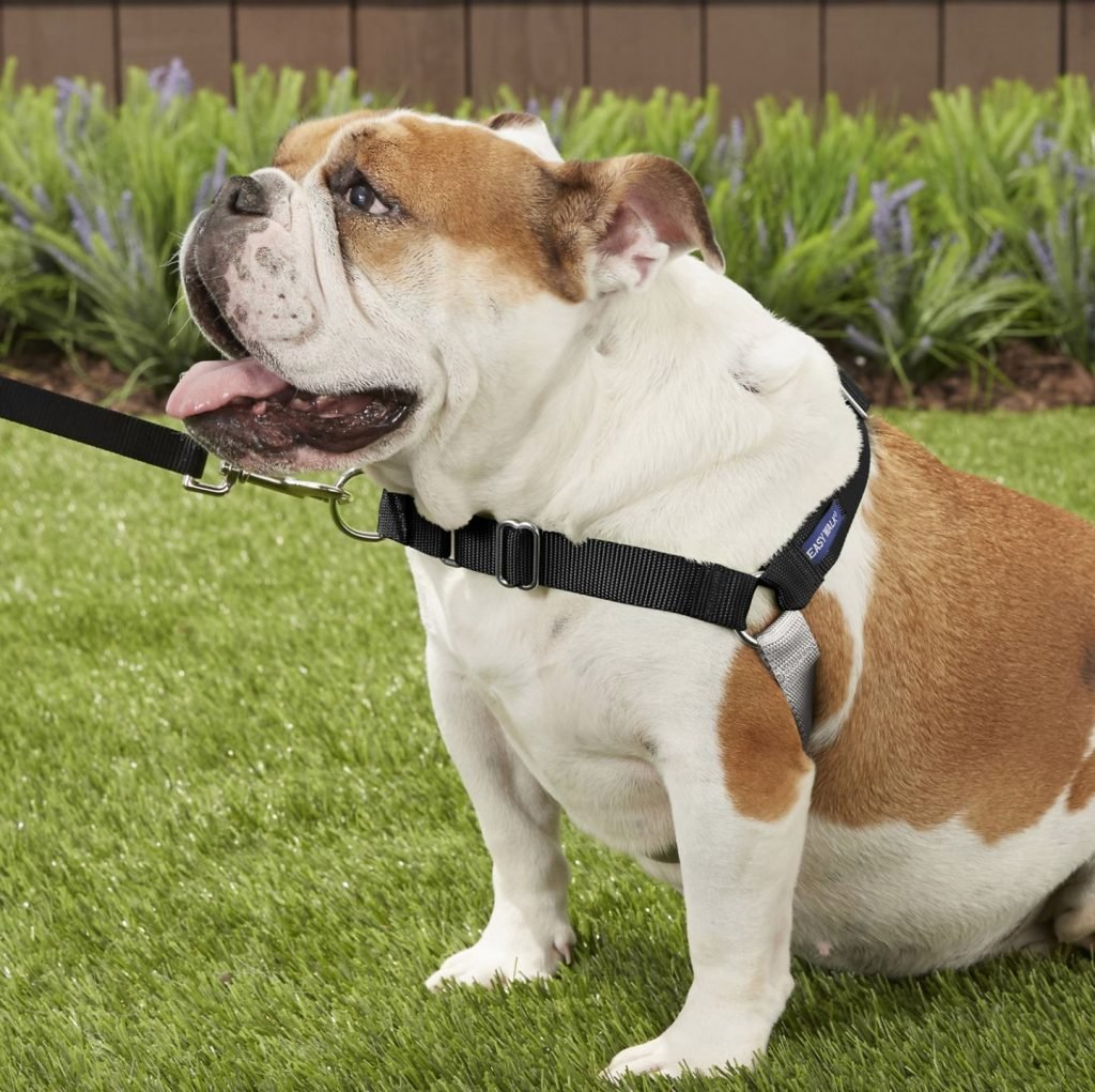 bulldog in black petsafe no-pull harness