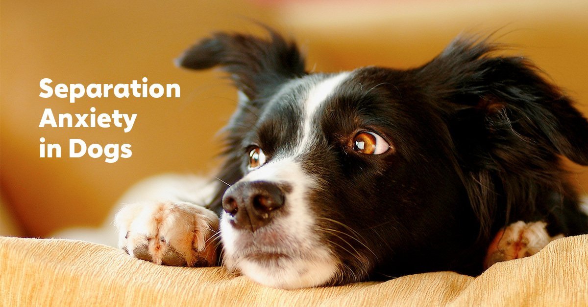 Separation Anxiety In Dogs What It Is And How To Help The Dog People By Rover Com