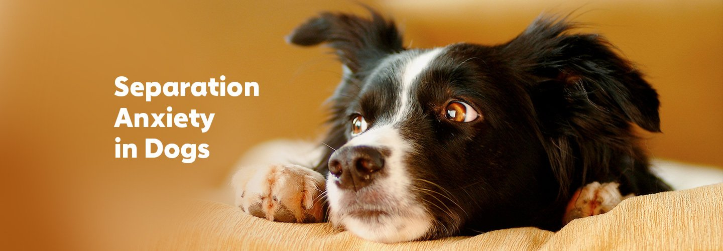 Separation Anxiety in Dogs: What It Is and How to Help
