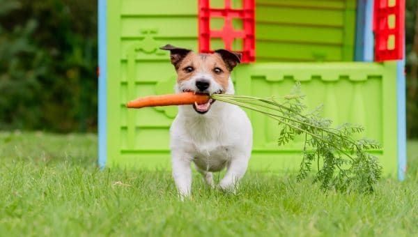 jack russell running with a carrot