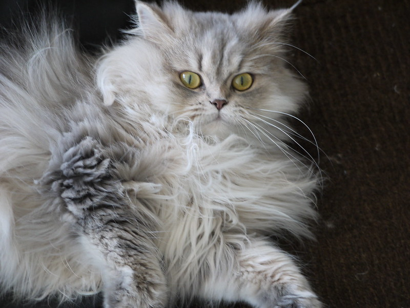 7 Of The Best Cat Breeds For Apartment Living The Dog People By Rover Com
