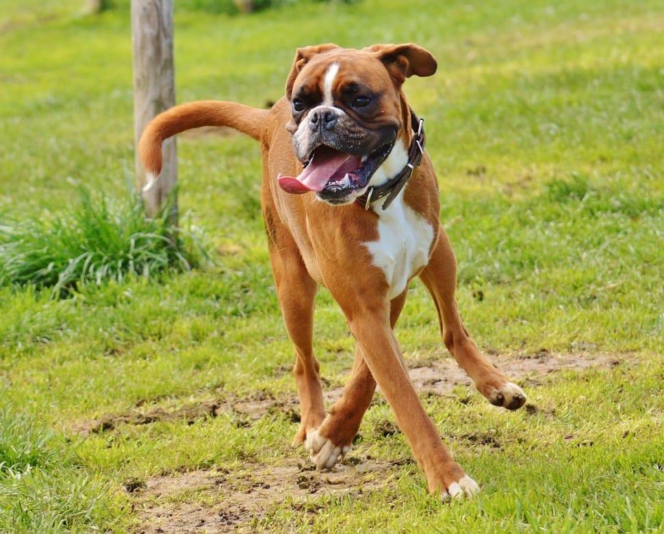 A boxer dog running around