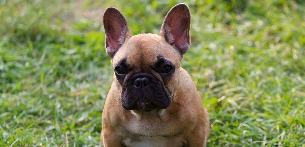A large French Bulldog with a brown body and black nose.