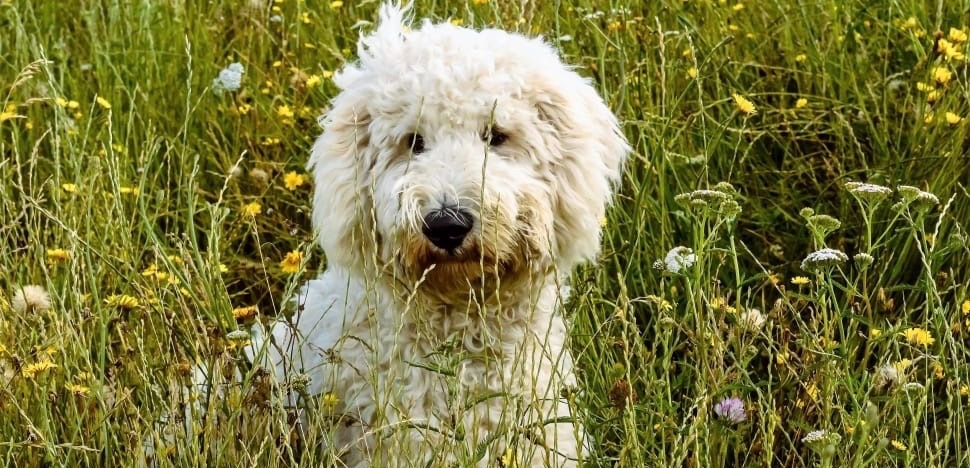 A fluffy Labradoodle dog in a field