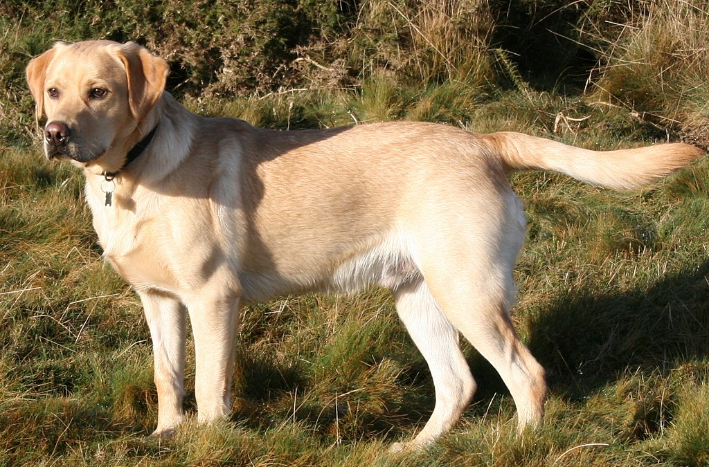 Labrador Retriever in a field, as one of the most popular dog breeds