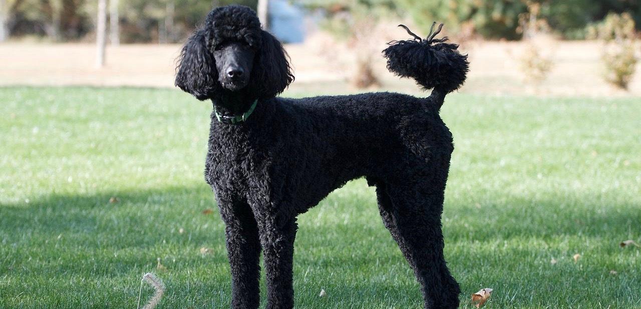 A standard poodle