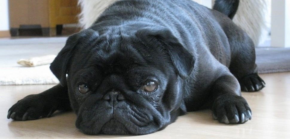 A cute black pug laying on the floor