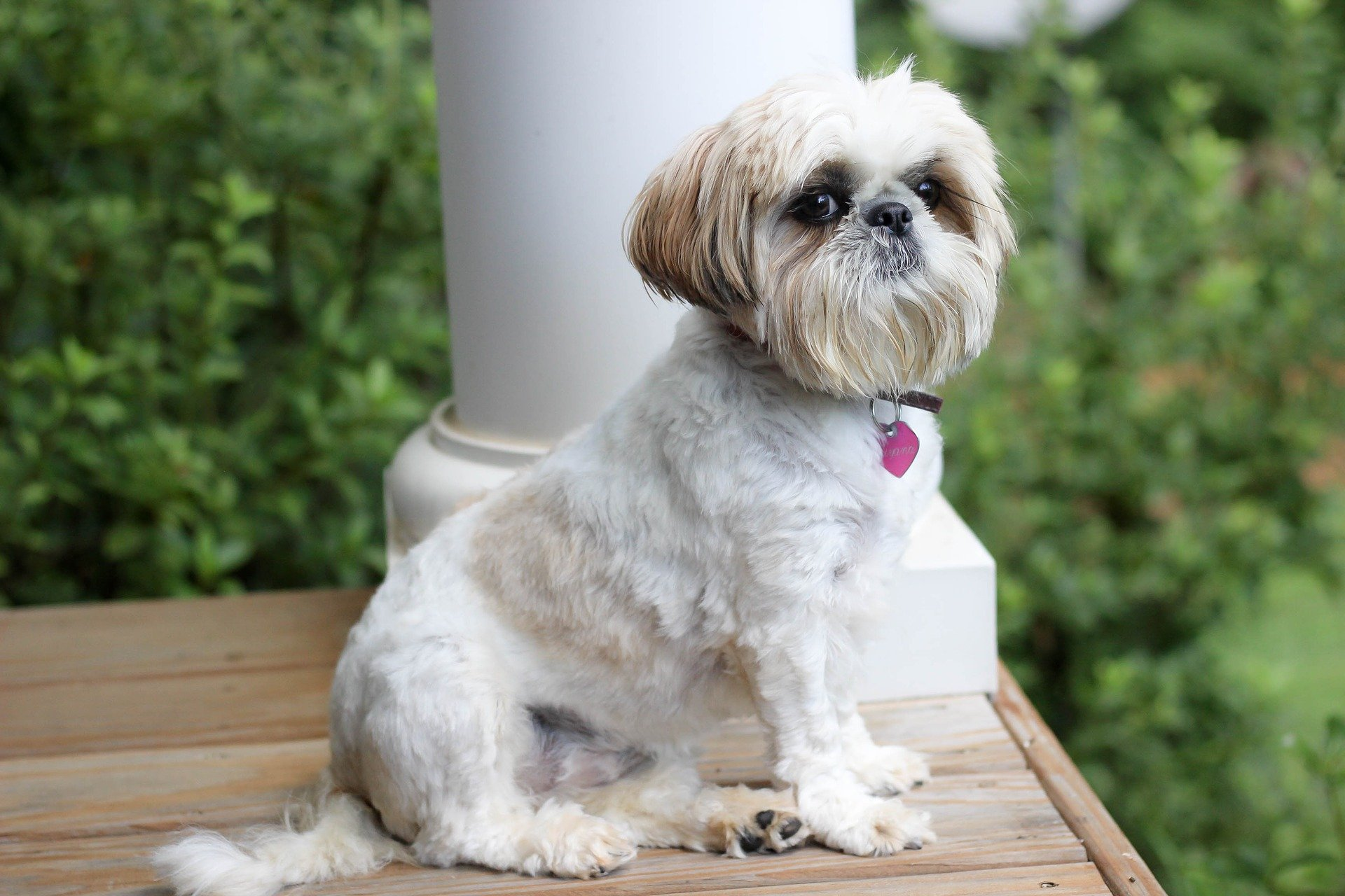 Shih Tzu Dog Breed Facts Information