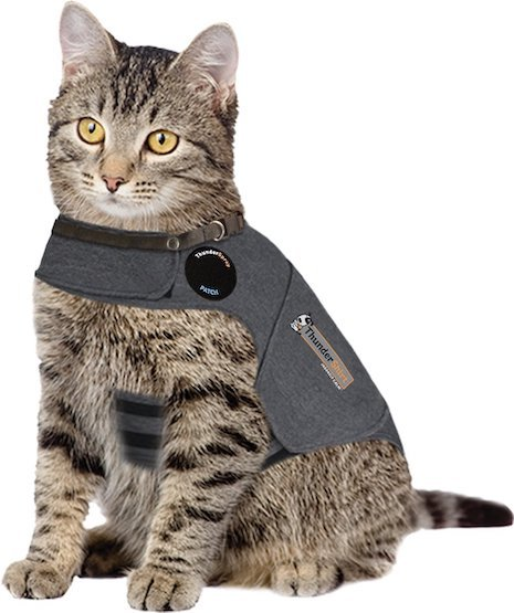 silver tabby wearing a ThunderShirt