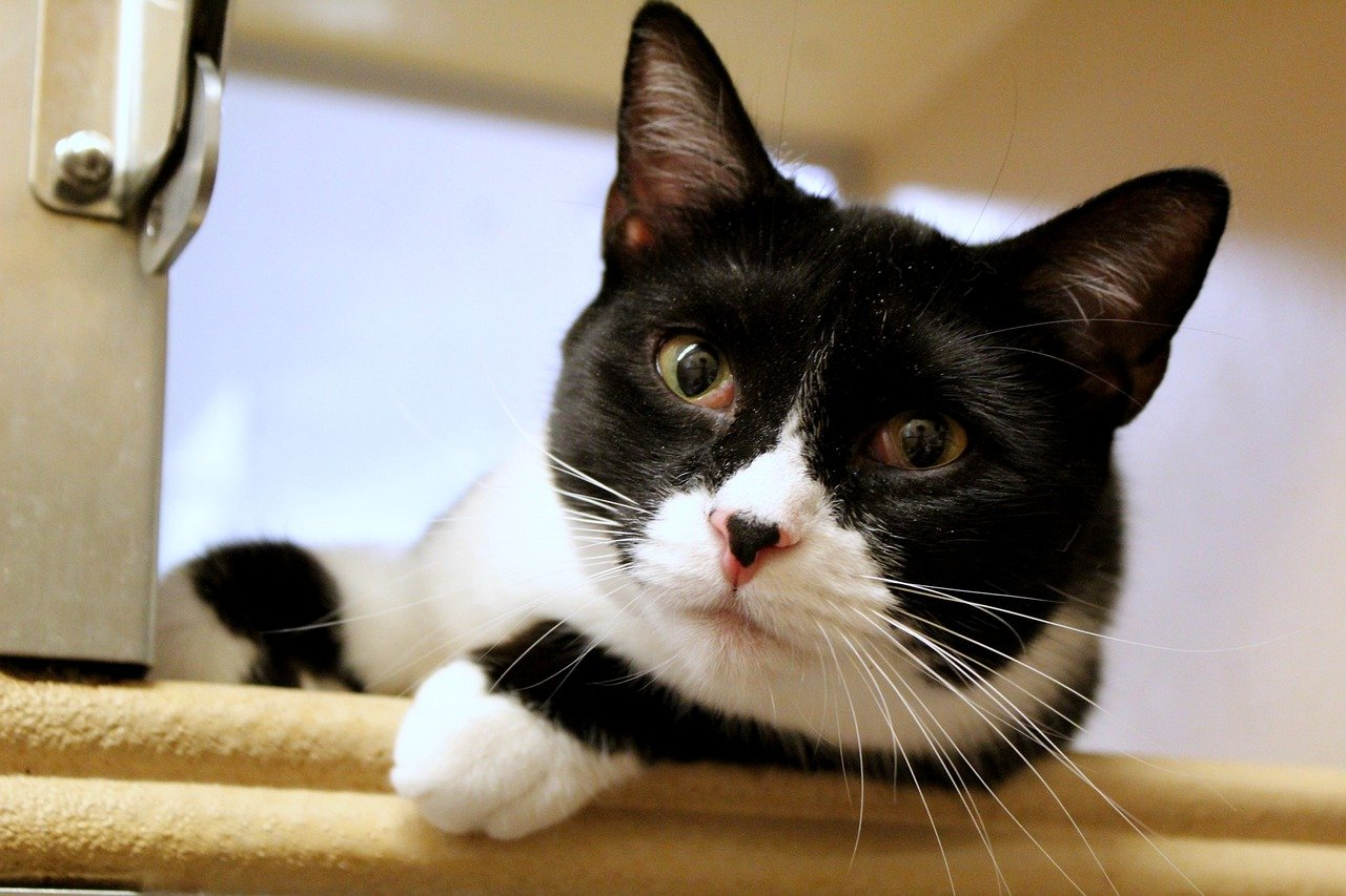 Black And White Cats 11 Fascinating Facts About These Dapper Felines The Dog People By Rover Com