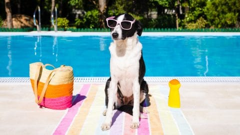 dog in shades poolside