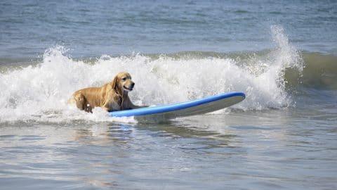Golden Retriever on surfboard in water