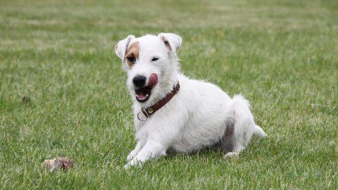 parson russell terrier in field