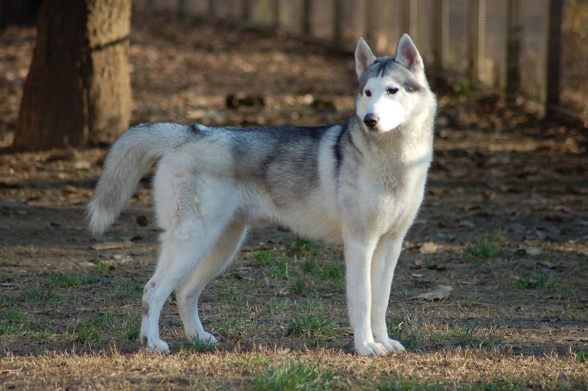 Siberian Husky Dog Breed Facts Information The Dog People By Rover Com