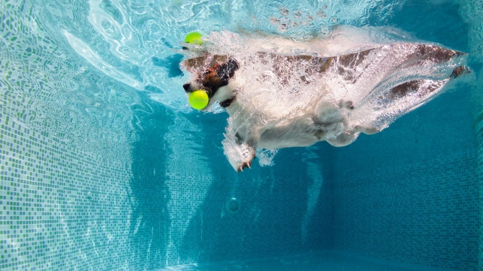 Jack Russell catching tennis ball under water