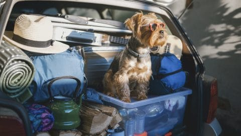 Terrier in back of packed car