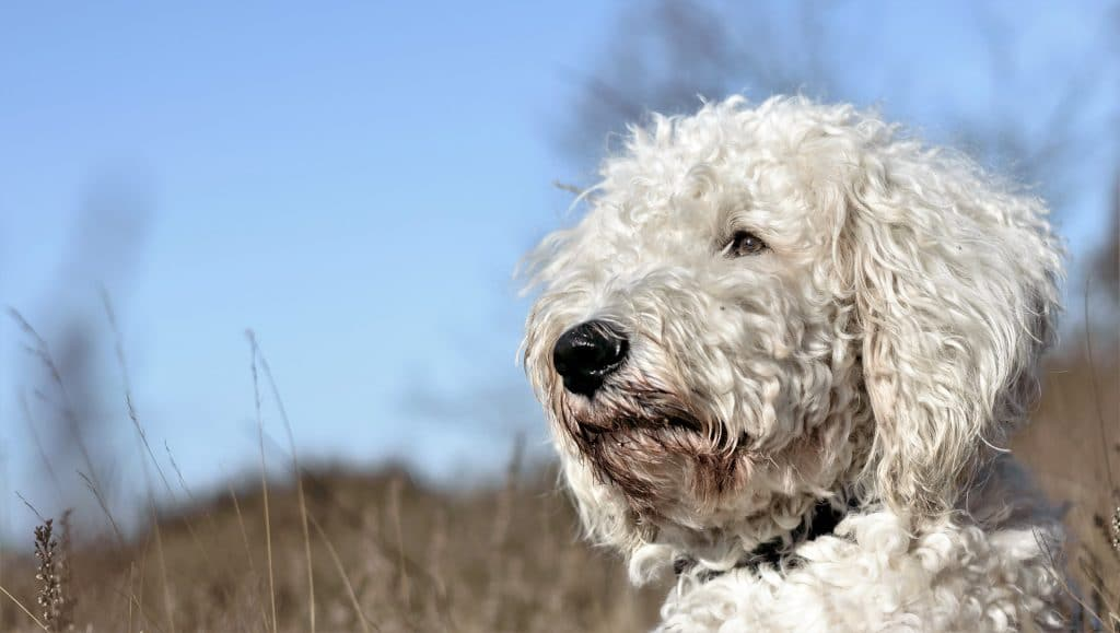 The Best Dog Food For Goldendoodles For 2020 The Dog People By Rover Com