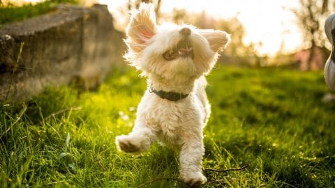 Maltese frolicking in grass
