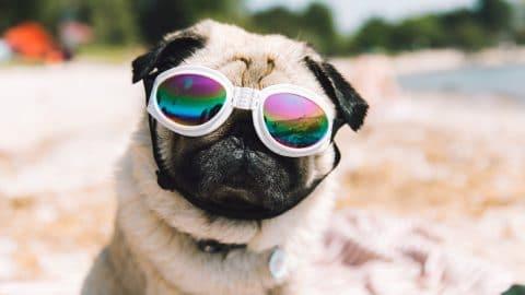 Pug in sunglasses on beach
