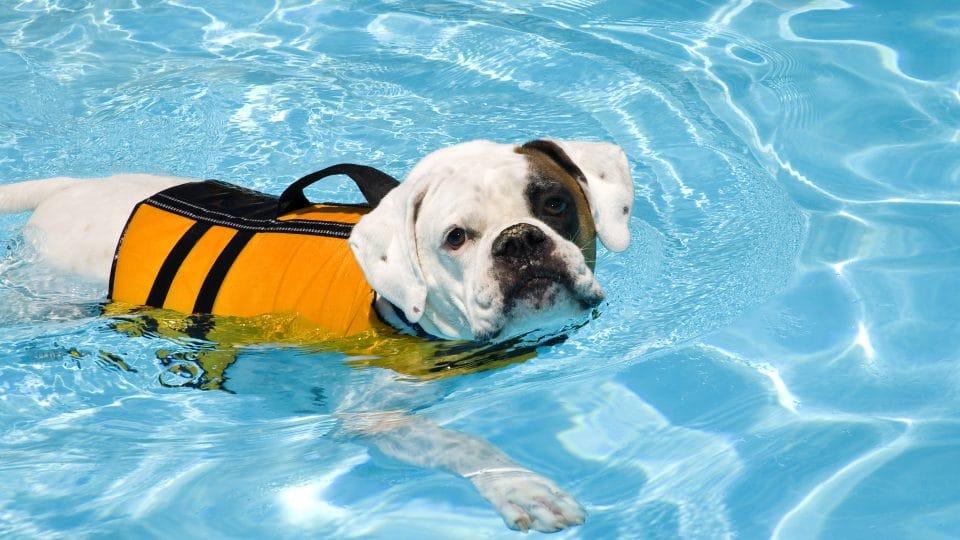 Bulldog Boxer mix in yellow life jacket in pool