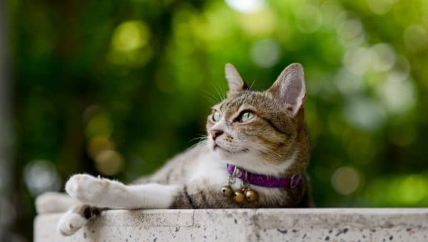 lounging grey and white tabby cat wearing a purple collar with three bells