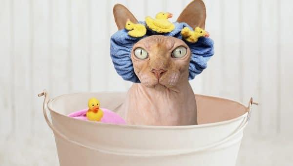 sphynx in tub