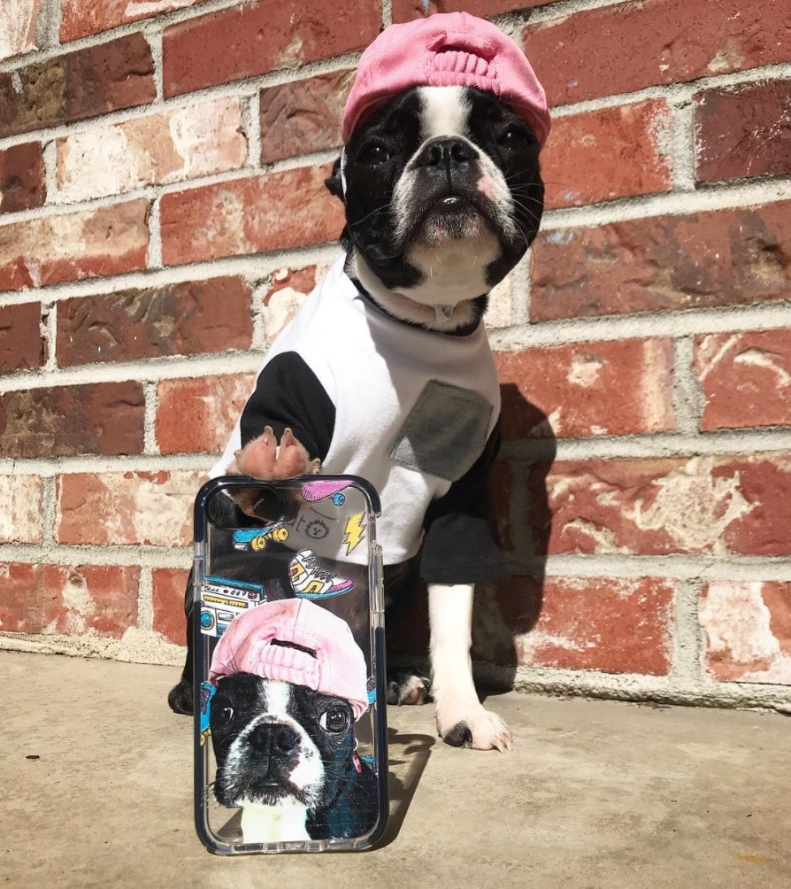 Boston Terrier with customized iPhone case