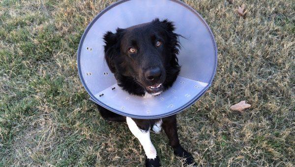 black dog wearing purple cone