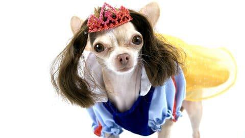Chihuahua wearing Snow White costume