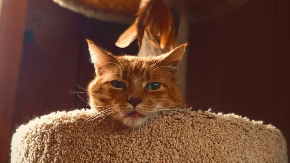 orange cat looking down from cat tree