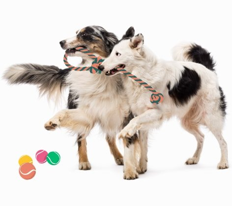 Two dogs playing with a rope toy