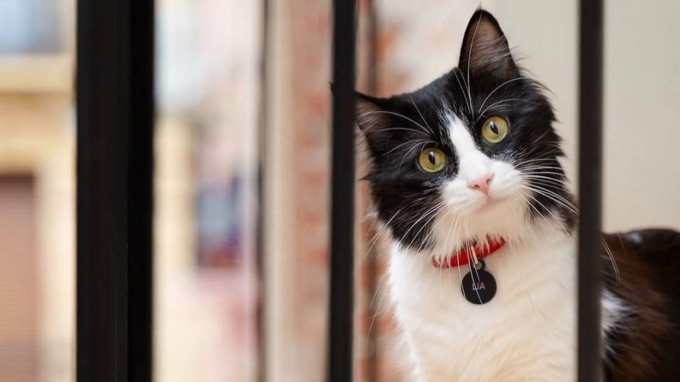 black and white cat wearing an ID tag