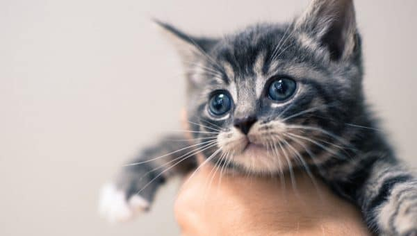gray and black striped kitten