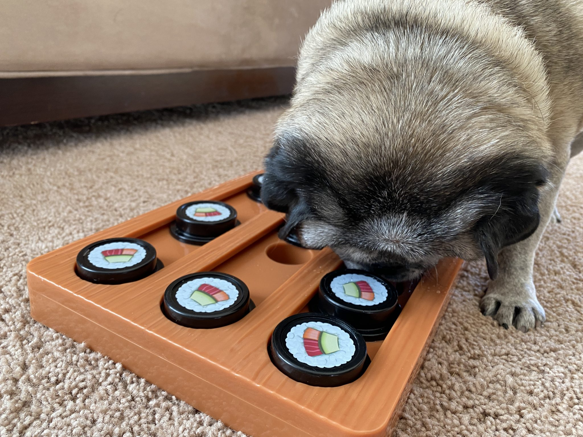 A pug navigating a sushi-themed puzzle toy