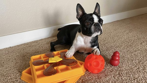 Olive the dog with puzzle toys