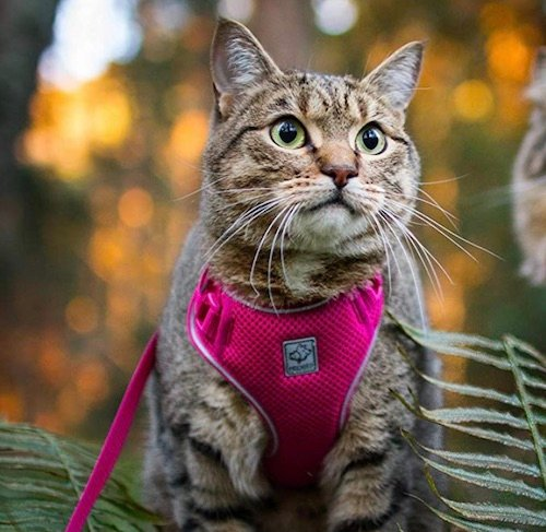 cat wearing pink RC Pet Products harness