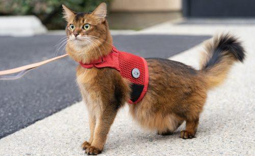 cat wearing red Sleepypod escape-proof harness