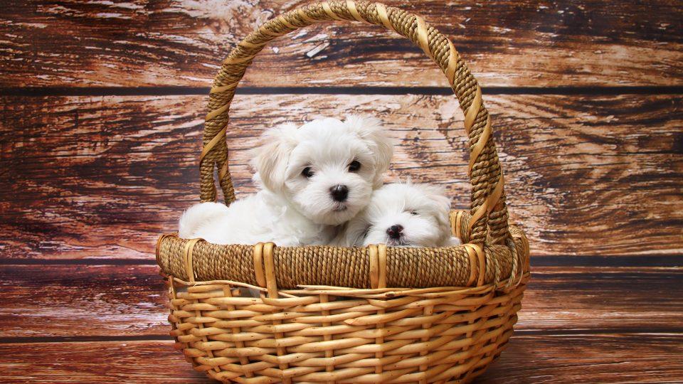 Maltese Dog Names Male