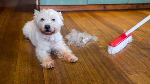 Dog moulting and shedding hair: broom sweeping fur from west highland white terrier indoors