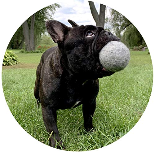 Frenchie holding on to Creature Eco-Friendly Basics wool ball