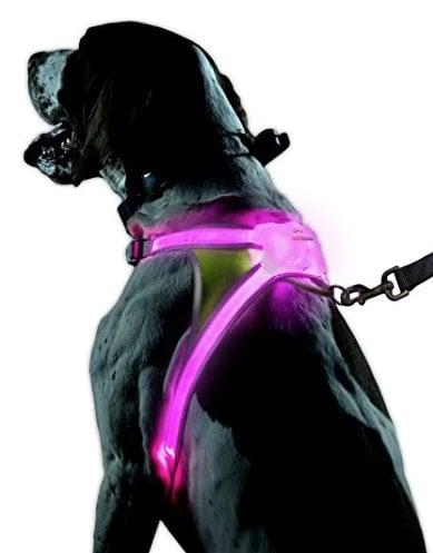 large black dog in a purple Noxgear LED Illuminated Reflective harness