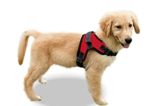 Golden Retriever puppy in a Copatchy Dog Harness