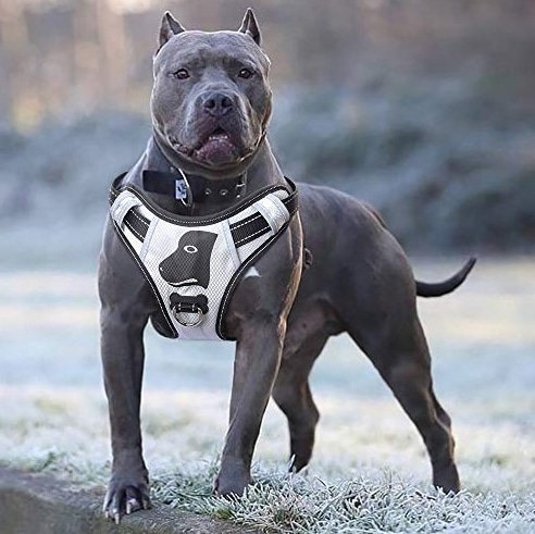 Silver Pit Bull in a white and black Babyltrl Silver Big Dog Harness in an outdoor setting