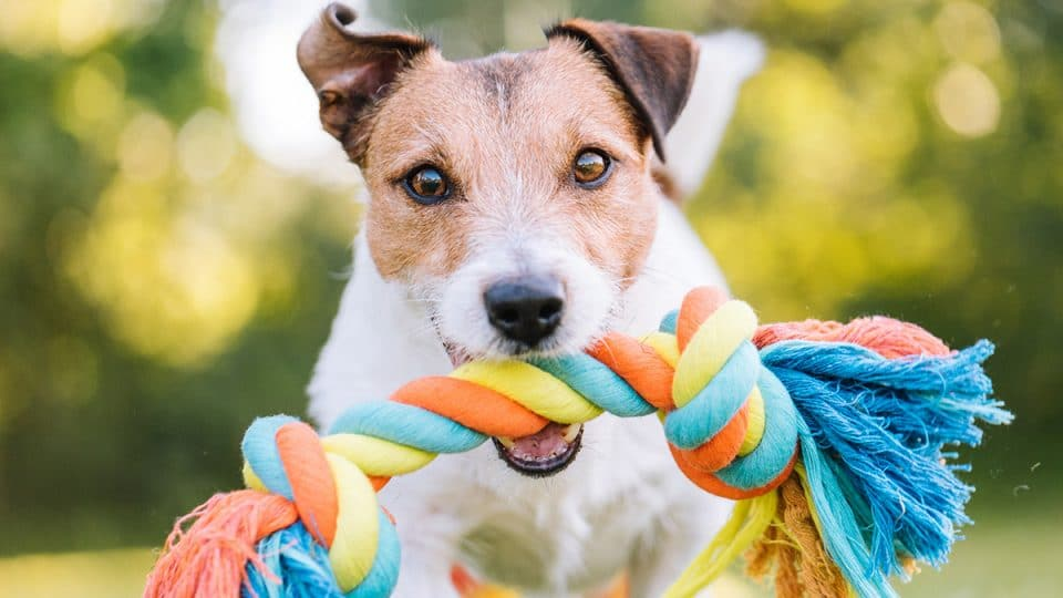 dog with rope chew toy