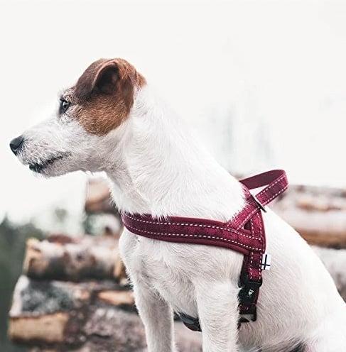 pup wearing purple Hurtta harness