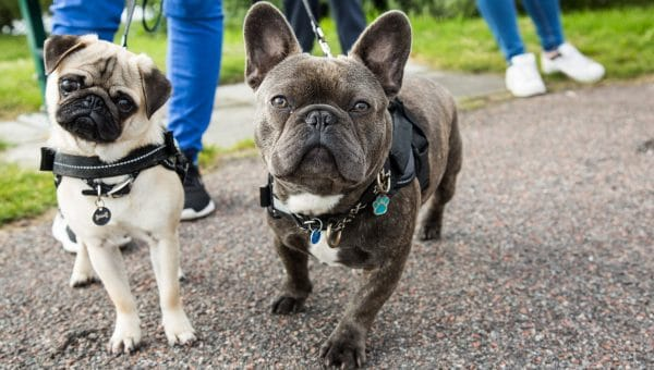 Frenchie and Pug in harnesses on a walk