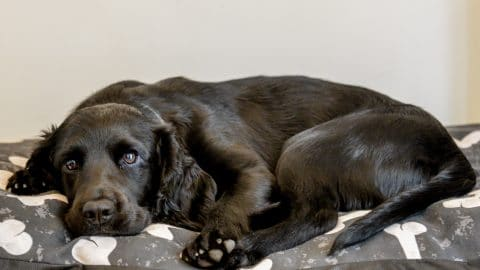 black dog laying on a dog bed