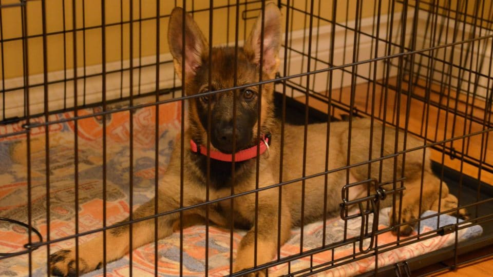 German Shepherd puppy in a box