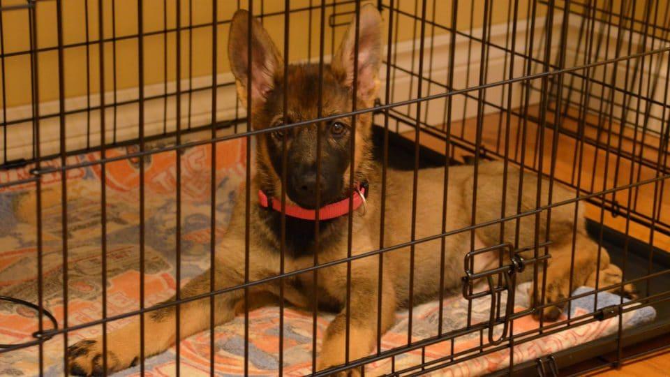 german shepherd puppy in a crate